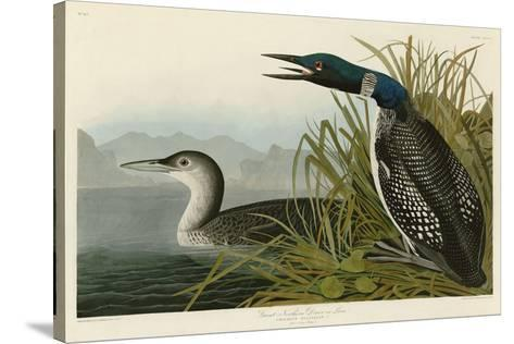 Great Northern Diver or Loon-John James Audubon-Stretched Canvas Print