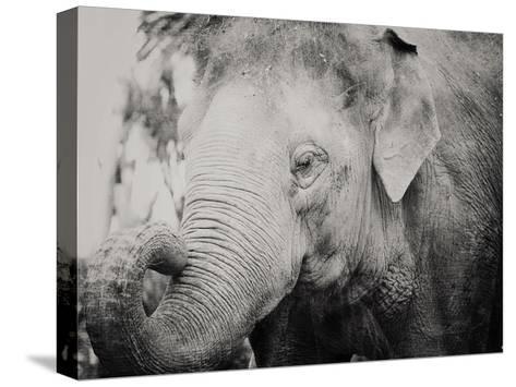 Baby Elephant-Ashley Davis-Stretched Canvas Print