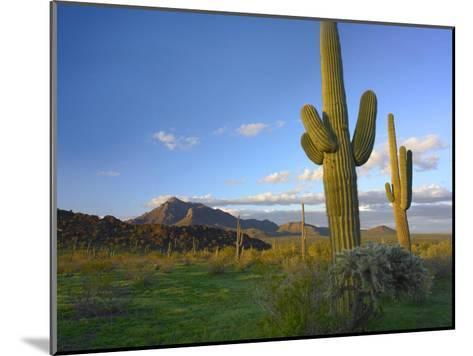 Saguaro and Teddybear Cholla, Picacho Peak State Park, Arizona-Tim Fitzharris-Mounted Art Print