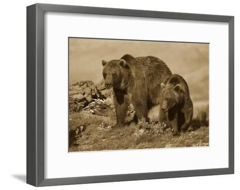 Grizzly Bear mother with a one year old cub, North America-Tim Fitzharris-Framed Art Print