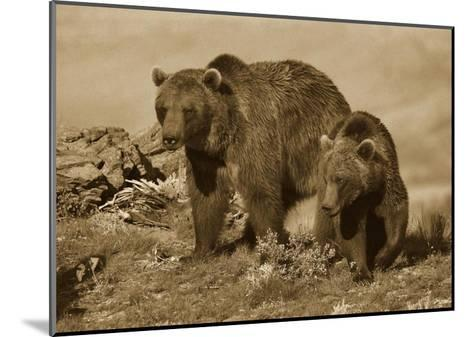 Grizzly Bear mother with a one year old cub, North America-Tim Fitzharris-Mounted Art Print