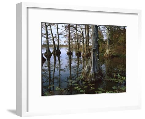 Bald Cypress at upper Blue Basin, Reelfoot National Wildlife Refuge, Tennessee-Tim Fitzharris-Framed Art Print