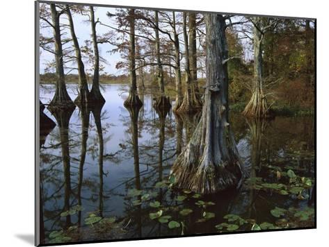 Bald Cypress at upper Blue Basin, Reelfoot National Wildlife Refuge, Tennessee-Tim Fitzharris-Mounted Art Print