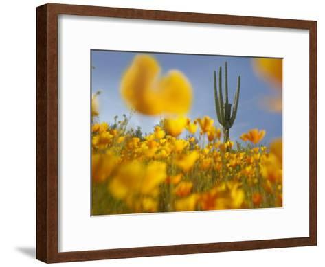 Saguaro cactus and California Poppy field at Gonzales Pass, Tonto National Forest, Arizona-Tim Fitzharris-Framed Art Print