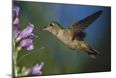 Broad-tailed Hummingbird feeding on the nectar of a Desert Penstemon flower, New Mexico-Tim Fitzharris-Mounted Art Print
