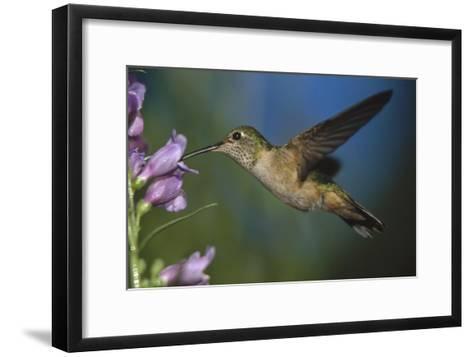 Broad-tailed Hummingbird feeding on the nectar of a Desert Penstemon flower, New Mexico-Tim Fitzharris-Framed Art Print