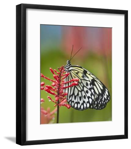 Paper Kite butterfly, native to Asia-Tim Fitzharris-Framed Art Print
