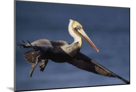 Brown Pelican flying, California-Tim Fitzharris-Mounted Art Print