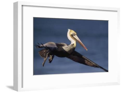 Brown Pelican flying, California-Tim Fitzharris-Framed Art Print