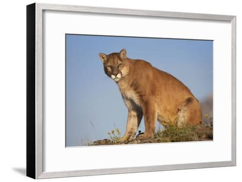 Mountain Lion North America-Tim Fitzharris-Framed Art Print