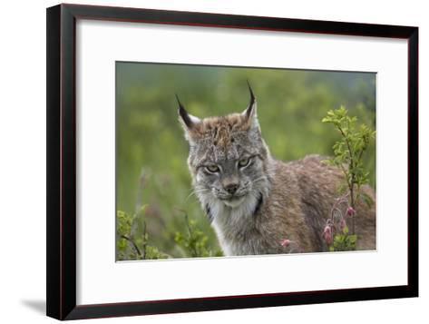 Canada Lynx portrait, North America-Tim Fitzharris-Framed Art Print
