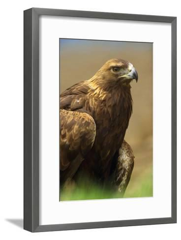 Golden Eagle portrait, North America-Tim Fitzharris-Framed Art Print