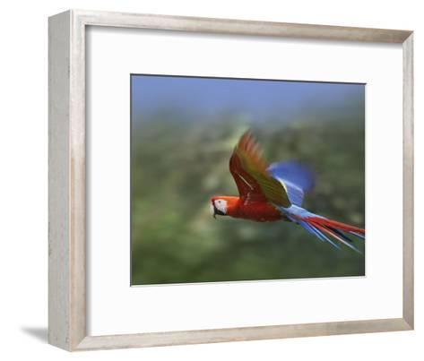 Scarlet Macaw flying, Costa Rica-Tim Fitzharris-Framed Art Print