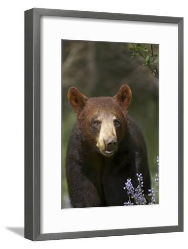Black Bear portrait, North America-Tim Fitzharris-Framed Art Print