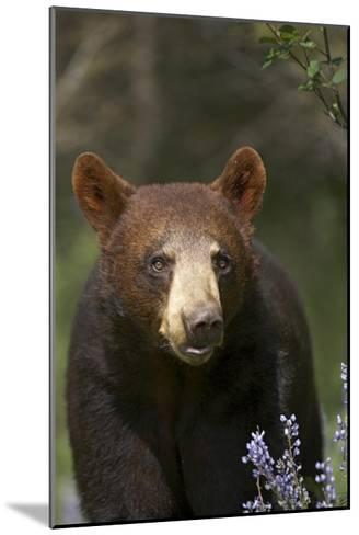 Black Bear portrait, North America-Tim Fitzharris-Mounted Art Print