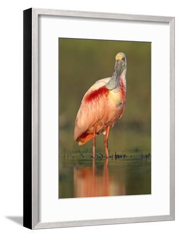 Roseate Spoonbill wading, North America-Tim Fitzharris-Framed Art Print