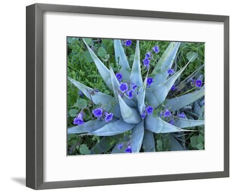 Desert Bluebell and Agave North America-Tim Fitzharris-Framed Art Print