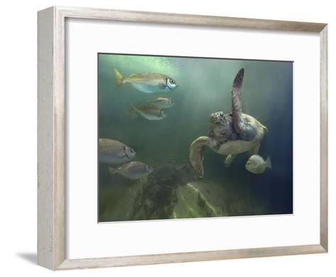 Green Sea Turtle and fish, Sabah, Malaysia-Tim Fitzharris-Framed Art Print