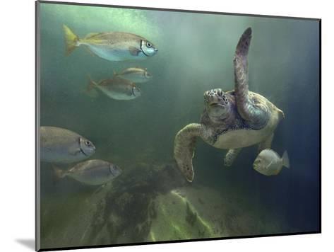 Green Sea Turtle and fish, Sabah, Malaysia-Tim Fitzharris-Mounted Art Print