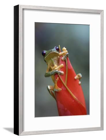 Gliding Leaf Frog on Heliconia, Costa Rica-Tim Fitzharris-Framed Art Print