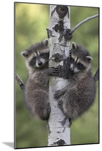 Raccoon two babies climbing tree, North America-Tim Fitzharris-Mounted Art Print