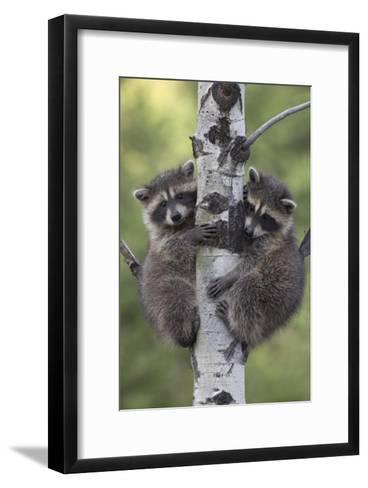 Raccoon two babies climbing tree, North America-Tim Fitzharris-Framed Art Print