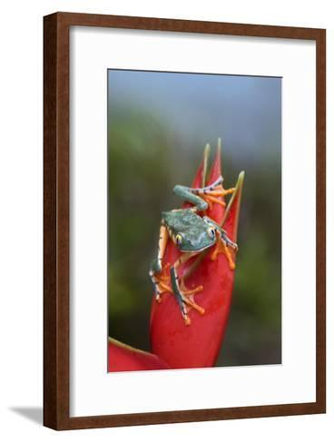 Tiger-striped Leaf Frog on Heliconia, Costa Rica-Tim Fitzharris-Framed Art Print