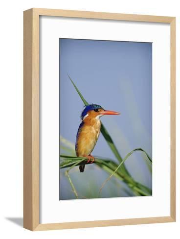 Malachite Kingfisher perching on reeds, Kenya-Tim Fitzharris-Framed Art Print