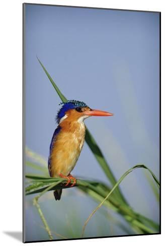 Malachite Kingfisher perching on reeds, Kenya-Tim Fitzharris-Mounted Art Print