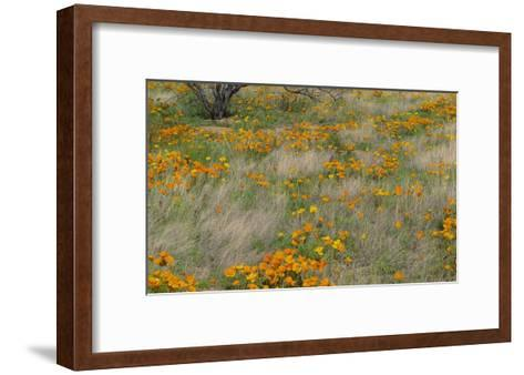 California Poppy meadow with grasses, California-Tim Fitzharris-Framed Art Print