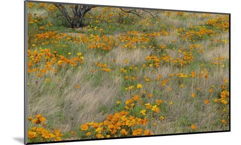 California Poppy meadow with grasses, California-Tim Fitzharris-Mounted Art Print
