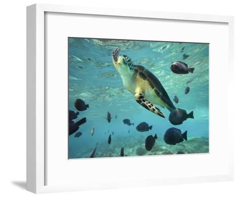 Green Sea Turtle, Balicasag Island, Philippines-Tim Fitzharris-Framed Art Print