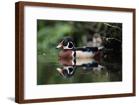 Wood Duck on water, British Columbia, Canada-Tim Fitzharris-Framed Art Print