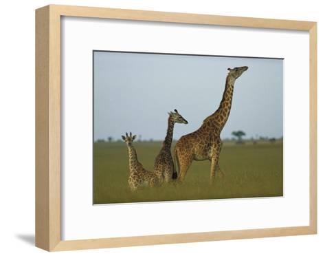Giraffe adult and juveniles on savanna, Kenya-Tim Fitzharris-Framed Art Print