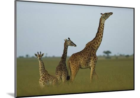 Giraffe adult and juveniles on savanna, Kenya-Tim Fitzharris-Mounted Art Print