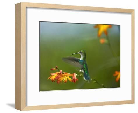 Green-crowned Woodnymph female landing, Ecuador-Tim Fitzharris-Framed Art Print