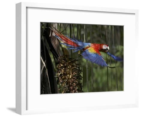 Scarlet Macaw flying with palm nut, Costa Rica-Tim Fitzharris-Framed Art Print