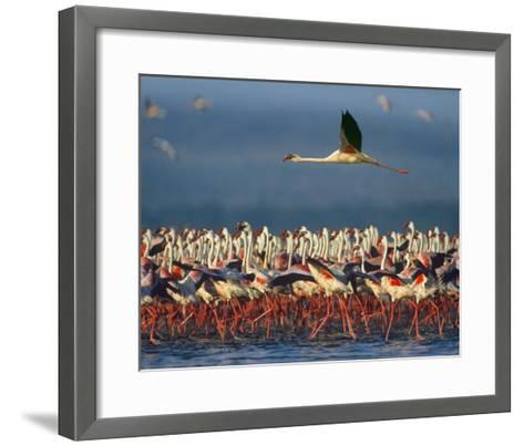 Lesser Flamingo flying over flock, Lake Nakuru, Kenya-Tim Fitzharris-Framed Art Print