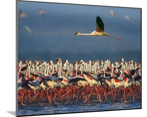Lesser Flamingo flying over flock, Lake Nakuru, Kenya-Tim Fitzharris-Mounted Art Print
