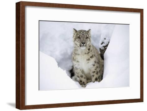 Snow Leopard adult portrait in snow, native to Asia-Tim Fitzharris-Framed Art Print