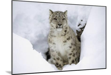 Snow Leopard adult portrait in snow, native to Asia-Tim Fitzharris-Mounted Art Print