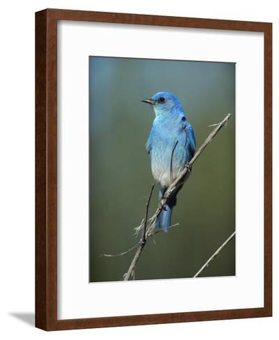 Mountain Bluebird perching on twig, North America-Tim Fitzharris-Framed Art Print