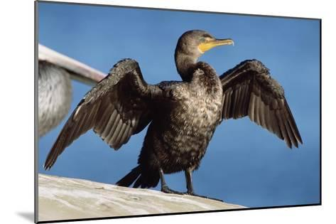 Double-crested Cormorant drying wings, California-Tim Fitzharris-Mounted Art Print