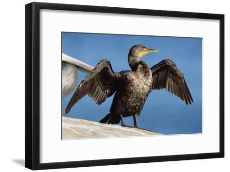 Double-crested Cormorant drying wings, California-Tim Fitzharris-Framed Art Print
