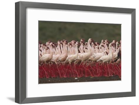 Lesser Flamingos in a mass courtship display, Kenya-Tim Fitzharris-Framed Art Print