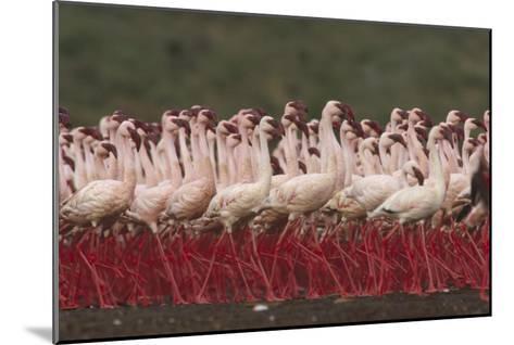 Lesser Flamingos in a mass courtship display, Kenya-Tim Fitzharris-Mounted Art Print
