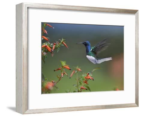 White-necked Jacobin hummingbird, male foraging, Costa Rica-Tim Fitzharris-Framed Art Print