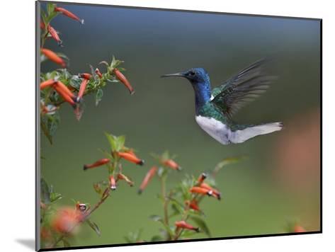 White-necked Jacobin hummingbird, male foraging, Costa Rica-Tim Fitzharris-Mounted Art Print