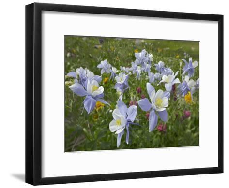 Colorado Blue Columbine flowers, American Basin, Colorado-Tim Fitzharris-Framed Art Print