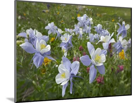 Colorado Blue Columbine flowers, American Basin, Colorado-Tim Fitzharris-Mounted Art Print